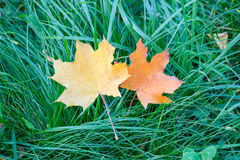 Two yellow maple leaf on the green grass Royalty Free Stock Photography