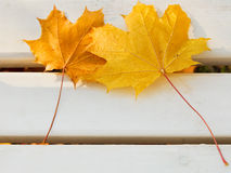 Two yellow maple leaves on bench Stock Image