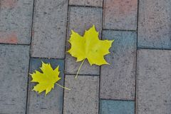 Two yellow maple leaves on the sidewalk. Of the city square royalty free stock photo