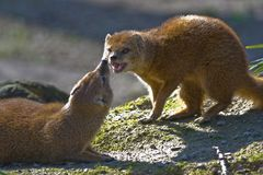 Two yellow mongoose stock image