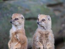 Two Yellow mongoose alert Royalty Free Stock Photos