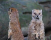Two Yellow mongoose alert Stock Photography