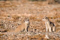Two Yellow Mongoose. Two weary Yellow Mongoose watche nervously from their  burrow for any danger nearby Stock Photos