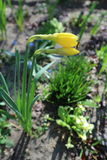 Two yellow Narcissus flower, prior to opening, emerging from spathe. Royalty Free Stock Photos