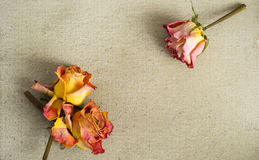 Dried roses on a painted canvas Stock Image