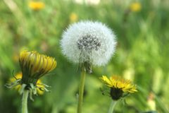 Two yellow and one white dandelion with a blurred background. Stock Images