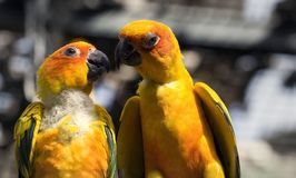 Two yellow parrots Stock Photo