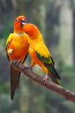 Two Yellow Parrots Royalty Free Stock Photo