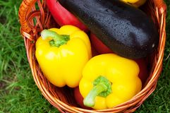 two yellow peppers and eggplant in a basket. Harvest stock image