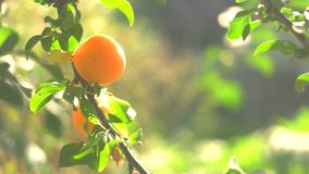Two yellow plums on branch. Fruits under sunlight. Grown without use of chemicals. Good ecological conditions stock footage