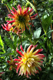 Two yellow with red dahlia in green leaves. Close up Royalty Free Stock Image