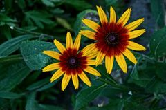 Two yellow red flower buds among green leaves stock photography