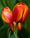 Two yellow and red tulips Royalty Free Stock Photography