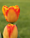Two yellow and red tulips with green in the background. One opening and one closed red and yellow tulips in my garden.  The focus is on the back flower Royalty Free Stock Images