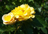 Two yellow rose in the garden Stock Image