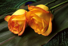 Two yellow roses Stock Photography