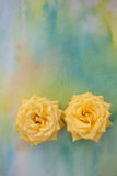 Two yellow roses. Closeup of two yellow roses in bloom isolated on watercolor painting Stock Image