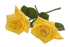 Two yellow roses cutout. Two yellow roses isolated on white background with clipping path Stock Image