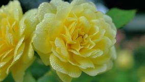 Two yellow roses in drops of rain stock video footage
