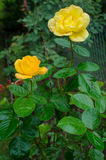 Two yellow roses. In the garden Royalty Free Stock Photos