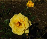 Two yellow roses in a garden royalty free stock photography