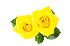 Two yellow roses Royalty Free Stock Photography