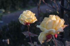 Two yellow roses one in focus stock photography