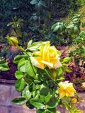 Two yellow roses stock images