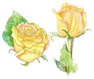 Two yellow roses, watercolor on white. Set of two hand drawn yellow roses on white background royalty free illustration