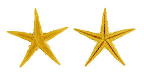Two yellow sea star ,isolated on white background Stock Photography