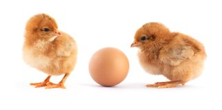 Two yellow small chicks Stock Photography
