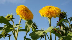 Two yellow sunflower blossoms and  wind stock footage
