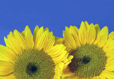 Two yellow sunflowers against blue sky Royalty Free Stock Images