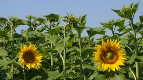 Two yellow sunflowers over green buds and blue sky. Two open yellow sunflowers flower heads over background of green young fresh new sunflower buttons and buds stock video