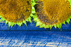 Two yellow sunflowers painted fence Royalty Free Stock Photos