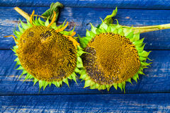 Two yellow sunflowers painted fence Royalty Free Stock Images