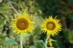 Two yellow sunflowers for pattern Stock Photo