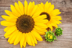 Two yellow sunflowers Stock Images
