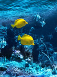Two yellow tropical fishes Royalty Free Stock Photo