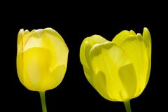 Two yellow tulip isolated on black background royalty free stock image