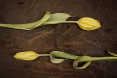 Two yellow tulip. Two yellow tulip on old brown table Royalty Free Stock Photography