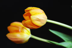 Two yellow tulips Stock Images