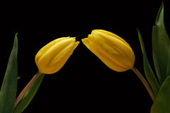 Two yellow tulips on black background Royalty Free Stock Photography