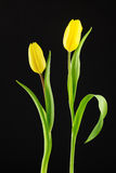 Two yellow tulips Royalty Free Stock Photos