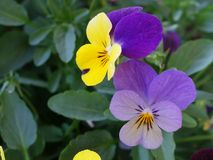 Two yellow violet pansy flower viola Stock Photo
