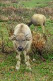 Two yellow water buffalo Stock Photos