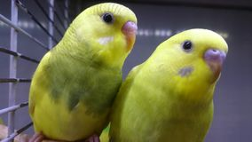 Two yellow wavy parrots look at you.  stock footage