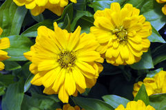 Two Yellow Zinnia elegans flowers. Closeup of two bright yellow zinnia flowers against a background of bluish-green leaves Stock Photos