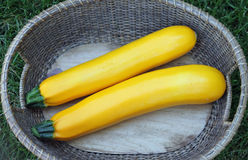 Two Yellow Zucchini in a Basket Stock Image