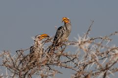 Two yellowbilled hornbill sit in the tree, etosha nationalpark, namibia. Two yellowbilled hornbill sit in the tree etosha nationalpark, namibia, tockus Royalty Free Stock Photography